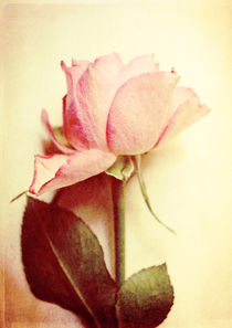 Vintage Rose by Sybille Sterk