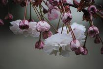 Zierapfel Blüten  by Elke Balzen
