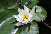 White Water Lily  von Milena Ilieva
