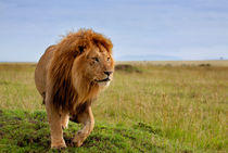 Long, the most beautiful Lion in Masai Mara, Kenya von Maggy Meyer