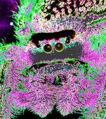 Solarised Jumping Spider von Rainar Nitzsche