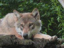 Wolf-canvas