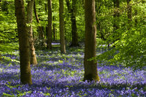 'Bluebell Woods' von David Tinsley