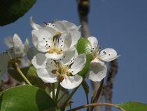 Peach Blossom by Henrietta Benjamin