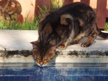 Misty... Cat drinking from swimming pool. by Henrietta Benjamin