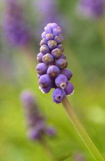 Muscari - ein Blütenstand der Traubenhyazinthe von Brigitte Deus-Neumann