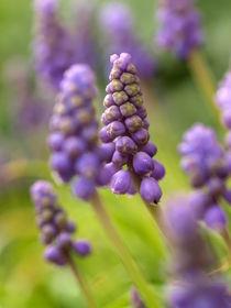 Hyazinthchen in bleu - die Traubenhyazinthe Muscari botryoides von Brigitte Deus-Neumann