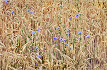 Chicory and Wheat by Peter J. Sucy