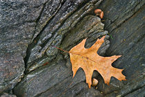 Oak Leaf on the Rocks by Peter J. Sucy