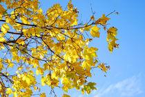 Ahorn im Herbst von topas images