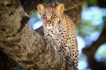 Serengeti-leopard-cub-climbing