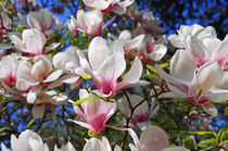 Magnolien by topas images