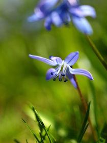 Im Gras entdeckt - Ein Blaustern Scilla siberica von Brigitte Deus-Neumann