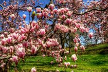 Blossoming magnolias by Maks Erlikh