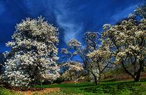 Blossoming magnolia by Maks Erlikh