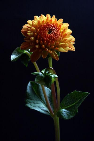 Dahlie-orange