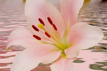 Pink Lily Floral art von David J French