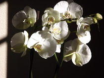 The Orchid... by Henrietta Benjamin
