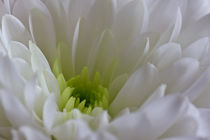 White Chrysanthemum by David Pringle