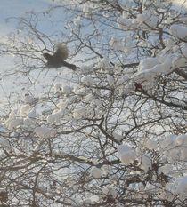Robin In Flight by Guy  Ricketts