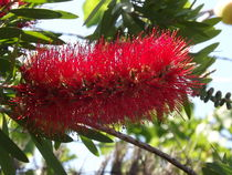 Red bottle brush bloom... von Henrietta Benjamin