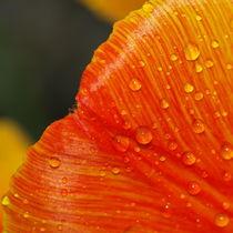 Wasserperlen verzieren das Blütenblatt einer Tulpe von Brigitte Deus-Neumann