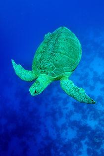 gren turtle by evgeny bashta