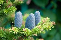 fir cones. by evgeny bashta