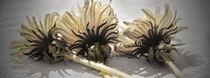 Löwenzahnblüten von hannahw