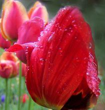 Tulpe im Regen by Ingrid Eichhorst