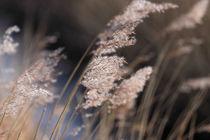 Schilf - Reeds von ropo13