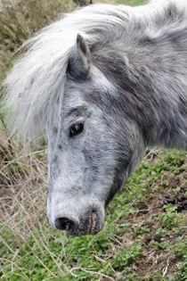Pony - Pinto von ropo13