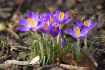 Krokus zum Frühling by AD DESIGN Photo + PhotoArt