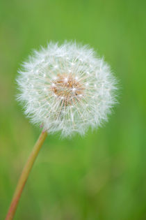 Pusteblume von AD DESIGN Photo + PhotoArt