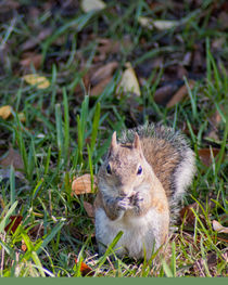 Squirrel by Diane Bell