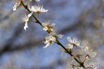 Mirabellenblüte - mirabelle flowers von ropo13