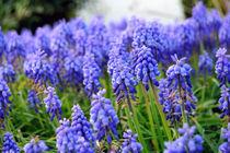 purple grape hyacinth von David Liesenfeld