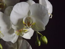 Orchid bloom and buds by Henrietta Benjamin