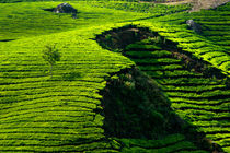Tea plantation by perfectlazybones