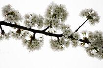 Kirschblüte by Bettina Schnittert