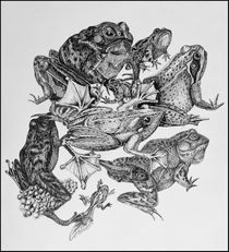 Frogs in ink by Ken Howard
