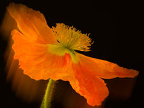 Dramatic Orange Poppy von Don Schwartz