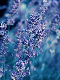 Lavender blue by Gealt Waterlander