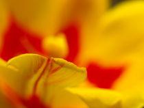 Tulpengemälde...Abstraktion einer Tulpenblüte von Brigitte Deus-Neumann