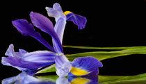 Sublime-iris-2