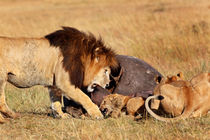 Big Lion Notch and his cub eating a Hippo by Maggy Meyer