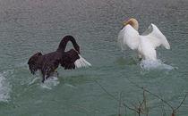 Trauerschwan und Höckerschwan,black and white swans von Dagmar Laimgruber