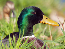 Stock-Ente, anas platyrhynchos, wild duck in springtime by Dagmar Laimgruber