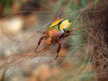 Insekten, Käfer, afrikanischer Rosenkäfer(eudicella trilineata), rose chafer, african beetle, bug by Dagmar Laimgruber