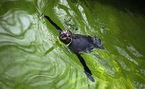 Swimming Penguin by olgasart